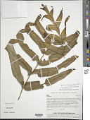 view Pteris cf. marquesensis Lorence & K.R. Wood digital asset number 1