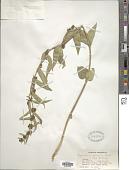 view Cynanchum canescens (Willd.) K. Schum. digital asset number 1