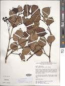 view Piper bolanicum Schltr. ex R.O. Gardner digital asset number 1