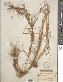 view Hyparrhenia filipendula (Hochr.) Stapf digital asset number 1