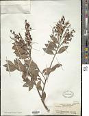 view Vaccinium wrightii A. Gray digital asset number 1