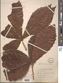 view Quercus insignis M. Martens & Galeotti digital asset number 1