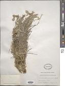 view Smelowskia calycina (Stephan) C.A. Mey. digital asset number 1