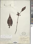 view Psychotria psychotriaefolia (Seem.) Standl. digital asset number 1