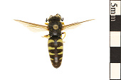 view Sand Wasp, Wasp digital asset number 1