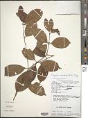 view Eugenia pseudopsidium Jacq. digital asset number 1