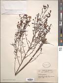 view Agalinis purpurea (L.) Pennell digital asset number 1