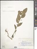 view Polygala acuminata Willd. digital asset number 1