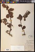 view Dufrenoya platyphylla (C.K. Spreng.) Stauffer digital asset number 1