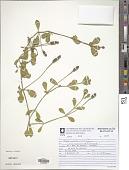 view Phyla nodiflora (L.) Greene var. nodiflora digital asset number 1