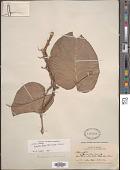 view Monstera dubia (Kunth) Engl. & K. Krause digital asset number 1