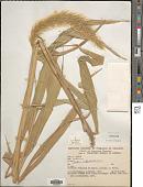view Setaria vulpiseta (Lam.) Roem. & Schult. digital asset number 1
