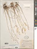view Poa secunda subsp. secunda var. gracillima (Vasey ex) Soreng digital asset number 1