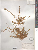 view Krascheninnikovia ceratoides (L.) Gueldenst. digital asset number 1