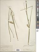view Carex tuckermanii Boott digital asset number 1