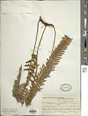 view Pleopeltis lepidopteris (Langsd. & Fisch.) de la Sota digital asset number 1