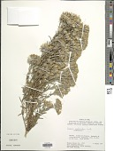 view Senecio melanocalyx Cuatrec. digital asset number 1