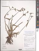 view Cyanotis longifolia var. longifolia digital asset number 1