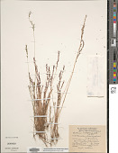 view Festuca octoflora var. hirtella Piper digital asset number 1