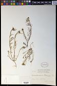 view Quinchamalium gracile Brongn. digital asset number 1