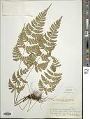 view Dryopteris sparsa (D. Don) Kuntze digital asset number 1