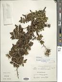 view Barnadesia arborea Kunth digital asset number 1