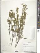 view Diosma acmaephylla Eckl. & Zeyh. digital asset number 1