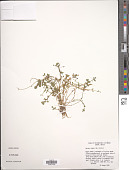 view Bacopa repens (Sw.) Wettst. digital asset number 1