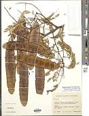 view Senegalia rhytidocarpa (L. Rico) Seigler & Ebinger digital asset number 1
