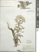 view Pseudognaphalium obtusifolium (L.) Hilliard & B.L. Burtt digital asset number 1