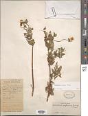 view Calceolaria crassa Molau digital asset number 1