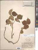 view Toxicodendron radicans subsp. rydbergii (J.K. Small & Rydb.) Á. Löve & D. Löve digital asset number 1