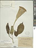 view Brugmansia suaveolens (Humb. & Bonpl. ex Willd.) Brecht. & J. Presl digital asset number 1