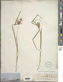 view Carex lurida Wahlenb. digital asset number 1