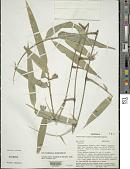 view Guadua ciliata Londoño & Davidse digital asset number 1