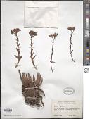 view Dudleya x semiteres (Rose) Moran digital asset number 1