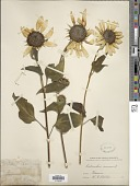 view Helianthus annuus L. digital asset number 1