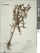 view Lycopus americanus Muhl. ex W.P.C. Barton digital asset number 1