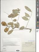 view Lonchocarpus eriocarinalis Micheli digital asset number 1