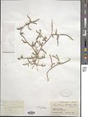 view Lepidium aucheri Boiss. digital asset number 1