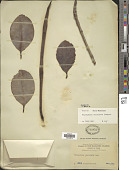 view Rhizophora mucronata Lam. digital asset number 1