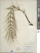 view Equisetum telmateia digital asset number 1