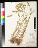 view Bromus hordeaceus L. digital asset number 1