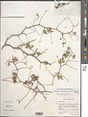 view Serjania sonorensis (S. Watson) Ferrucci & V.W. Steinm. digital asset number 1