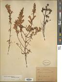 view Lamourouxia linearis Benth. digital asset number 1