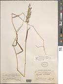 view Polypogon viridis (Gouan) Breistr. digital asset number 1