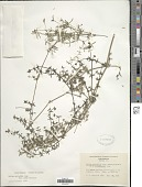 view Galium nuttallii A. Gray digital asset number 1