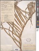 view Freycinetia sumatrana Hemsl. digital asset number 1
