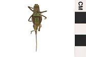 view Davis's Shield-bearer, Short-horned Grasshopper digital asset number 1