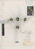 view Aphanactis cocuyensis Cuatrec. digital asset number 1